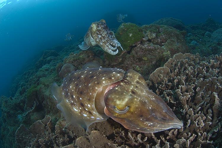 屋久島のコブシメ